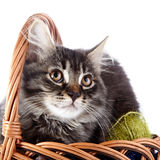 Portrait of a cat in a wattled basket with woolen balls. Royalty Free Stock Images