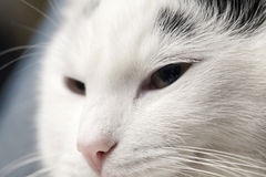 Portrait of cat Royalty Free Stock Photography