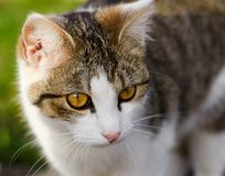 Portrait of cat with white and tabby color Stock Images