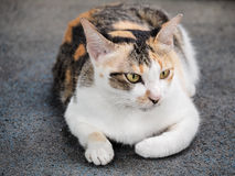 Portrait of a cat with white and tabby fur. Selective focus Royalty Free Stock Photo