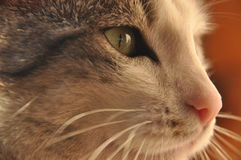 Portrait of a cat. Wild eyes. And long whiskers Royalty Free Stock Photo