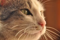 Portrait of a cat. Wild eyes Stock Photography