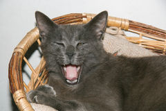 Portrait of cat yawning Royalty Free Stock Photography