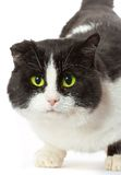 Portrait of a cat with yellow eyes Royalty Free Stock Photo