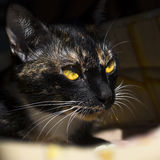 Portrait of cat with yellow eyes Royalty Free Stock Images
