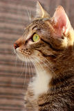 Portrait of a cat with yellow eyes Stock Photo