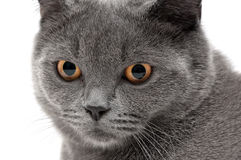 Portrait of a cat with yellow eyes on a white background Royalty Free Stock Images