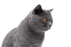 Portrait of a cat with yellow eyes on a white background Stock Photography