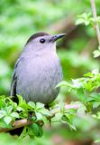 Portrait of catbird. A catbird rests on green branch and looking around Royalty Free Stock Images