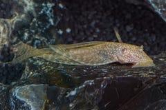 Portrait of catfish (Ancistrus sp.) in aquarium Royalty Free Stock Photo