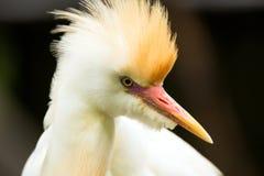 Portrait of Cattle Egret Stock Photos