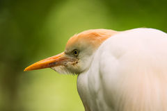 Portrait of Cattle Egret Royalty Free Stock Images