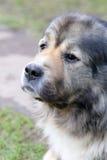 Portrait of caucasian shepherd Stock Photography