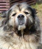 Portrait of caucasian shepherd Royalty Free Stock Photos