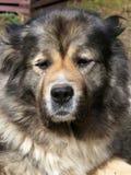 Portrait of caucasian shepherd Royalty Free Stock Images