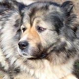 Portrait of caucasian shepherd Stock Photo