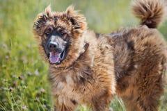 Portrait caucasien de berger Photographie stock