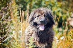 Portrait caucasien de berger Photo libre de droits