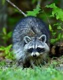 Beautiful Northern Raccoon Stock Photos