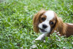 Portrait of a Cavalier King Charles dog in outdoors. Beautiful brown white dog portrait King Charles Charles dog royalty free stock images