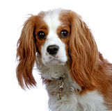 Portrait of a Cavalier King Charles Spaniel. Cavalier King Charles Spaniel isolated on white background looking at camera Royalty Free Stock Photography