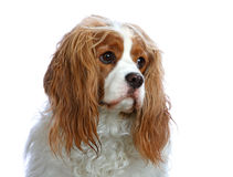 Portrait of a Cavalier King Charles Spaniel. Portrait of a Cavalier King Charles Spaniel isolated on white background Royalty Free Stock Photos