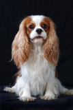Portrait of a Cavalier King Charles Spaniel dog. Royalty Free Stock Photos