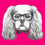 Portrait of Cavalier King Charles Spaniel with glasses and bow tie. Stock Images