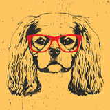 Portrait of Cavalier King Charles Spaniel with glasses. Stock Photos