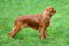 The portrait of Cavalier King Charles Spaniel on a green grass l Stock Image