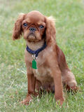 The portrait of Cavalier King Charles Spaniel on a green grass l Stock Photo
