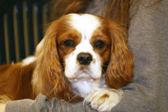 Portrait of cavalier king charles spaniel puppy Stock Image