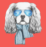 Portrait of Cavalier King Charles Spaniel with scarf and sunglasses. Stock Photography