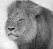 A portrait of Cecil the Lion in Hwange National Park Stock Photography