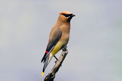 Portrait of a Cedar Waxwing Stock Photography