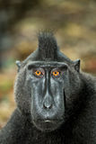 Portrait of Celebes crested macaque, Sulawesi, Indonesia Stock Image