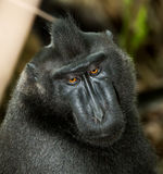 Portrait of Celebes crested macaque, Sulawesi, Indonesia Stock Images