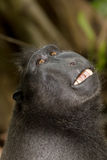 Portrait of Celebes crested macaque, Sulawesi, Indonesia Royalty Free Stock Photos