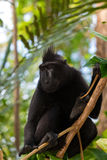 Portrait of Celebes crested macaque, Sulawesi, Indonesia Stock Photography