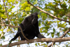Portrait of Celebes crested macaque, Sulawesi, Indonesia Royalty Free Stock Photography