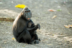 Portrait of Celebes crested macaque, Sulawesi, Indonesia Royalty Free Stock Image