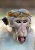 Portrait of Ceylon macaque closeup Stock Photos