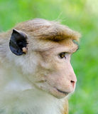 Portrait of Ceylon macaque closeup Royalty Free Stock Images