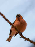 Portrait of the chaffinch Royalty Free Stock Photos