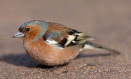 Portrait of the chaffinch Stock Image