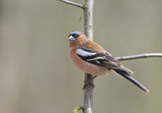 Portrait Chaffinch on a branch in the forest Royalty Free Stock Photos