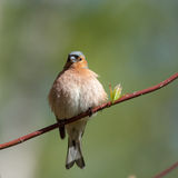 Portrait of chaffinch Royalty Free Stock Image