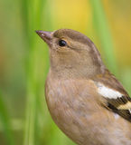 Portrait of a Chaffinch Stock Photos