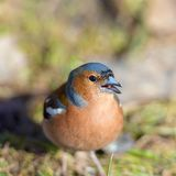 Portrait of the chaffinch Stock Images