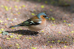 Portrait of chaffinch Stock Photography